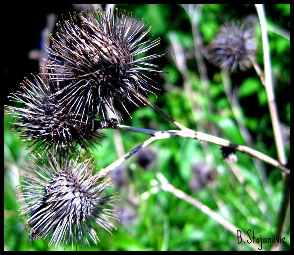 The World's Best Photos of burrs and plant - Flickr Hive Mind