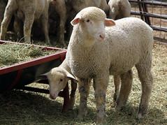 3/4 SAMM lamb
