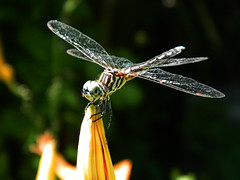 Dragonfly (Calebthinks) Tags: bug texas dragonfly houston bigbug houstontexas bugonflower bugonaflower beautifulbug micromode dragonflycloseup bugcloseup texasbug texasdragonfly bugmicromode