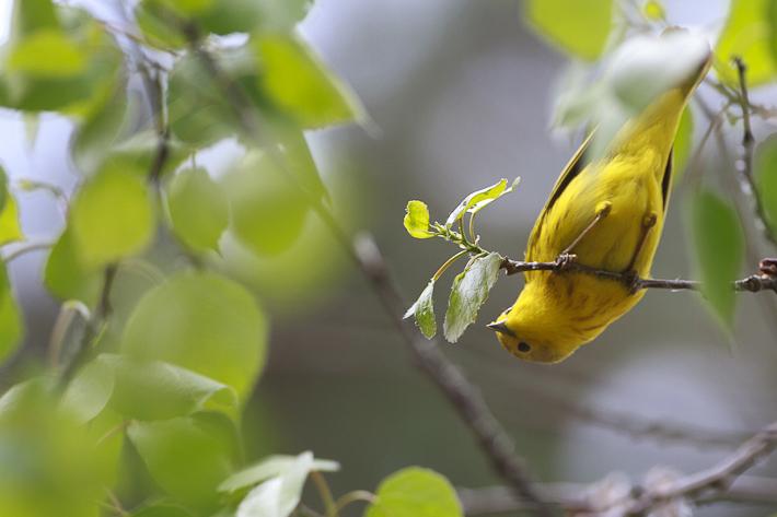 060711_bird_yellowWarbler