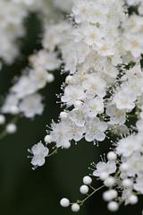 Prunus grayana (Takashi(aes256)) Tags: flower macro 花 マクロ 昭和記念公園 canoneos7d prunusgrayana ウワミズザクラ canonef100mmf28lmacroisusm