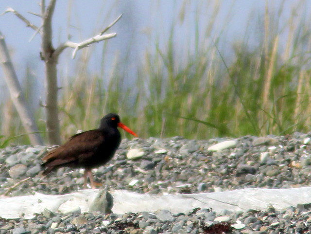 Black Oystercatcher 20110622