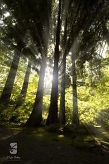 Nitobe Memorial 1241 (Kyle Bailey - Da Big Cheeze) Tags: trees sunshine silhouette forest lensflare lightrays kylebailey rookiephoto dabigcheeze wwwrookiephotocom nitobememorial