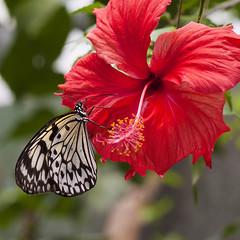Butterfly / Vlinder (siebe ) Tags: holland netherlands dutch butterfly vlinder leidschendam vlindertuin vlindersaandevliet