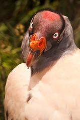 Vautour Royal | King Vulture  | Zopilote Rey (Halbazar) Tags: naturaleza nature perú cajamarca kingvulture pérou faune 200mm nikond90 granjaporcon dsc3824 zopiloterey vautourroyal 1800sàf80