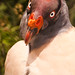 Vautour Royal | King Vulture  | Zopilote Rey
