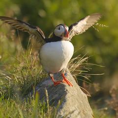 Atlantic puffin #1 (Roland S.) Tags: bird norway vogel runde papageientaucher