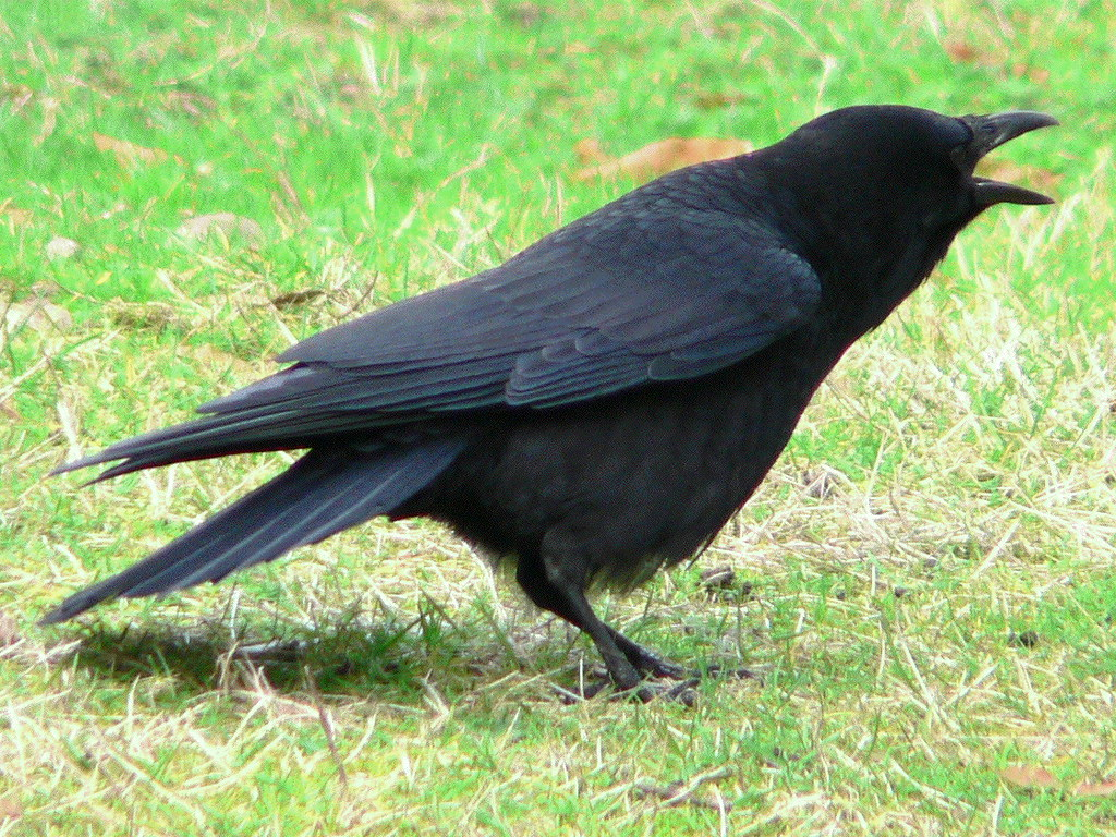 American crows: the ultimate angry birds? | Science