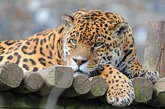 Jaguar 0412 6347 (Ross Elliott) Tags: cat zoo bigcat jaguar dartmoor dartmoorzoo sprkwell