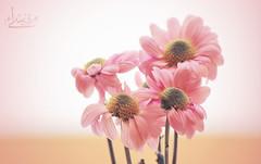 (ميـسـآء بنت عبـدالـلـﮧ ツ) Tags: flowers canon photo flickr cam pic maisa عبدالله بنت ورد صوره الجنه امي 600d وردي فلكر كام كاميرا كانون ميساء المصوره