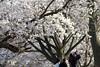 Sakura_596 2012-04-13 (Steven Joniak [SavageLettuce]) Tags: toronto ontario highpark sakura cherryblossoms 2012