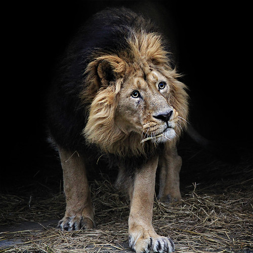 The Lion 'King' by jinterwas, on Flickr