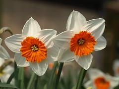 Narcisos blancos y naranjas. La Haya 2012 (Javier Garcia Alarcon) Tags: flowers plants plant flores flower planta plantas flor narciso narcisos
