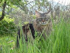 Noursette dans l'herbe (Noursette2012) Tags: cat katten chat queue longue soyeuse noursette