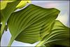Hosta Leaves (Brian 104) Tags: ontario green leaves whitehouse hosta almonte flickrduel