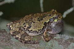 Grey tree frog singing (Hyla versicolor) (NatureFreak07) Tags: singing frog mating treefrog hylaversicolor lemoinespoint matingcall greytreefrog kingstonon naturefreak07 hnainphotography