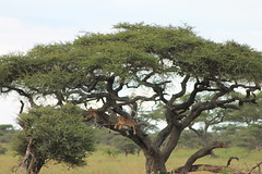 Serengeti's Lion (jnyaroundtheworld) Tags: africa animals tanzania wildlife lion ngorongoro crater zebra giraffe massai serengeti animaux girafe afrique faune zbre tanzanie greatmigration wetseason manyaralake ndutu felins masa lacmanyara saisondespluies grandemigration