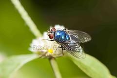 Varejeira (Edson Grandisoli. Natureza e mais...) Tags: parque cidade animal sopaulo inseto pernas asa mosca varejeira artrpode olhocomposto regiosudeste