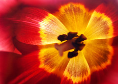 The soft warm glow lives inside the tulip (Sarah Cowan's mix of photo love) Tags: red summer orange flower colour macro yellow warm tulips tulip ourdailychallenge