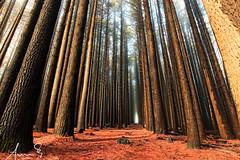 Sugar Pine Walk - Laurel Hill (sachman75) Tags: morning trees mist fog woods australia nsw vegetation sugarpine laurelhill canon1740mmf4 batlow 5dmark2 canon5dmarkii sugarpinewalk bagostateforest