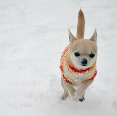~ Flying Mera ~ (Ruth S Hart) Tags: uk snow chihuahua action essex 32 {explored} nikondslrusersthebistro ourdailychallenge elitechihuahua dailydogchallenge aldersbrookmera