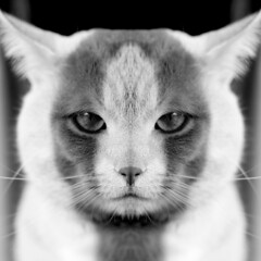 Jour 19 / Michel le Montralais (EMEM Manuel Martinez) Tags: bw white canada black animal animals cat project 50mm chat montral f14 sony symmetry nb days qubec symmetrical 365 animaux blanc noi longueuil a77 flin symtrie 365daysproject alpha77 sonyalpha77
