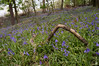 Bluebell forests