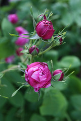 C'est en croyant aux roses qu'on les fait éclore... (NUMERIK33) Tags: roses flower fleur rose fleurs garden jardin