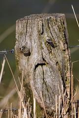 Old Man Fence Post - Alter Mann im Zaun (Uli) (Uli-Joe) Tags: gesicht zaun holz zaunpfahl winzlar