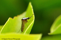 Mosquito (rajnishjaiswal) Tags: plant macro green nature garden insect fly leaf nikon wildlife gimp mosquito d90 105mmmicro