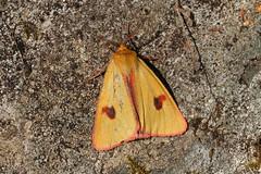 Diacrisia sannio ♂ Clouded Buff (Roger Wasley) Tags: macro scotland highlands naturereserve moths alltmhuic butterflyconservation diacrisiasannio cloudedbuff lochakraig