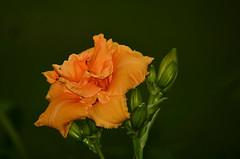 Day Lily - Hartselle, Alabama (deanrr) Tags: park orange flower earth alabama daylily bloom bud morgancountyalabama hartsellealabama