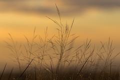 Autumn Grass (dalejckelly) Tags: canon nature scotland scottish autumn sunset golden hour landsape grass plant flower plants flowers outdoor