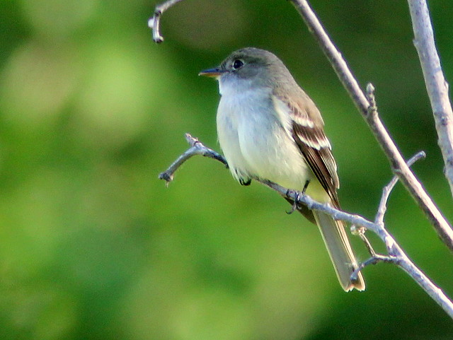 Alder Flycatcher 20110618