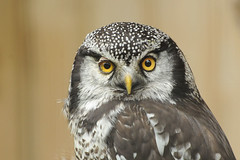 Northern Hawk Owl (affinity579) Tags: wild portrait bird nature closeup nikon quebec wildlife ecomuseum northernhawkowl specanimal d700 mothernaturesgreenearth