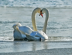love in a cold climate (Ronnie jimmy) Tags: swans rons
