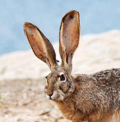 Happy Easter! (Habub3) Tags: travel usa holiday rabbit bunny nature fauna easter nikon lasvegas urlaub natur ears ostern hase 2012 reise ohren d90 vanace habub3 mygearandme