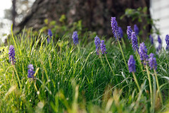 The Purple Field Perspective (Grape Hyacinths) (Aaron W | http://law-photography.com) Tags: light flower grass canon dof purple bokeh mark ii 40 fullframe grape magichour lowperspective hyacinths 24105l 5dii