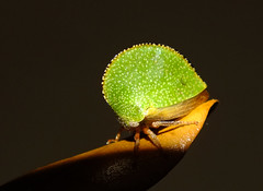 Texas Tree Hopper (agates4me) Tags: insect treehopper arthropod