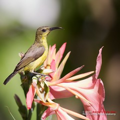 Female Yellow-bellied Sunbird, Cinnyris jugularis (alabang) Tags: female cloudy yellowbellied sunbird ibon ebon cinnyrisjugularis itlog jugularis olivebacked cinnyris langam pakpak femaleolivebackedsunbird philippinebirds ef800mmf56lisusm canonef800mmf56lisusm femaleyellowbelliedsunbird