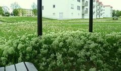 (EmilyStAubert) Tags: flowers white abandoned overgrown army weeds weed military housing pavilion uni barracks würzburg whiteflowers usarmee hubland leightonbarracks campusnord whiteweed hoarycress pfeilkresse overgrownpavilion herzkresse