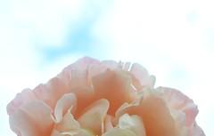 Rose blue sky (stormchaseroosteeklo) Tags: pink blue sky flower macro nature rose closeup nikon blauw kitlens lucht roze bloem d3100