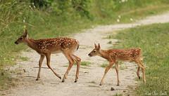 Double Dose of Sweet (NatureKim) Tags: critter deer precious fawns odc babyanimals hawkwoods ourdailychallenge