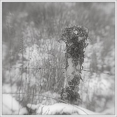 Lensbaby Thursdays (96): Ivy-covered (ShinyPhotoScotland) Tags: wood people blackandwhite blur art nature lines closeup composite lensbaby manipulated fence square lens photography scotland still wire flora warm dof emotion bokeh space gimp places calm equipment negativespace filter barbedwire chilly simple toned platinum contrasts tranquil stacked contentment existentialist dumfriesandgalloway painteffects digikam digitalsketch metalwood newtonstewart shapeandform rawconversion sharpsoft enfuse timeflows naturehappens darktable photivo abstractqualities mankindnature separationdivision digitallowpass