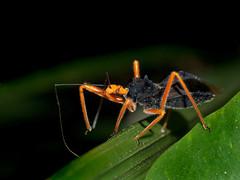 Reduviid Bug, Vohimana reserve, Madagascar