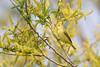 _53F8530 Yellow Warbler Female (~ Michaela Sagatova ~) Tags: ontario female dundas songbird yellowwarbler dendroicapetechia woodwarbler michaelafotheringham michaelasagatova