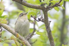 _53F0144-Edit Tennessee Warbler (~ Michaela Sagatova ~) Tags: dundas tennesseewarbler woodwarbler birdphotography vermivoraperegrina dvca michaelasagatova