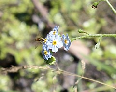 "Forget-me-nots • <a style=""font-size:0.8em;"" href=""http://www.flickr.com/photos/92887964@N02/14213151122/"" target=""_blank"">View on Flickr</a>"