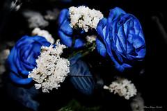 El primer y ultimo pensamiento del da./ Rosas azules (Edwin.1997) Tags: blue roses de y para negro una alemania todo tu rosas ramo fondo regalo castillo carta edwin nada malo amazonas azules amada salazar verdecora mesnada acompaalo