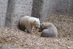 Polar bear cubs (Shishito Totakura) Tags: bear animals munich zoo polarbear cubs tierpark hellabrun